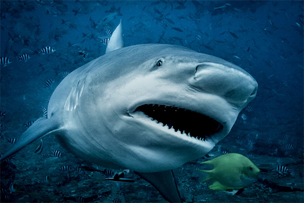 Bull Shark (Survive a Shark Attack: A Complete Guide )