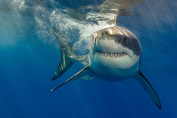 The Great White Shark (Survive a Shark Attack: A Complete Guide )