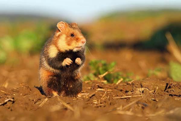 Wild Hamsters: How to Hunt Them